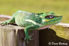Want to know more about the Cuban anole? Read on to find out how Cuban anoles differ from geckos and chameleons.Cuban anoles are often mistaken for Reptiles And Amphibians, Mammals, Butterfly Bat, Bee Hummingbird, Small Frog, Living Fossil, Little Critter, Chameleons, Lizards