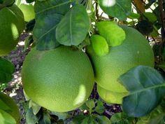 สวนส้มโอ - Google Search