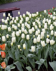 Tulip White Emperor | DutchGrown®
