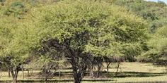 Acacia nilotica - Google Search Acacia, Trees To Plant, Country Roads, Google Search, Plants, Outdoor, Outdoors, Tree Planting, Plant