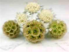Paper Moon - Scabiosa (Scabiosa stellata) Attractive pale blue flowers are followed by cool, everlasting seed heads that are perfect for dried arrangements. This pest-tolerant, annual plant is native to Southern Europe.