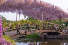 Bridge at Ashikaga Park (Courtesy Sarah Sutter)