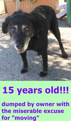 15 years!!!! SUPER URGENT 08/30/16 Brooklyn Center BLACKIE – A1087965 NEUTERED MALE, BLACK, LABRADOR RETR MIX, 15 yrs OWNER SUR – EVALUATE, NO HOLD Reason MOVE2PRIVA Intake condition EXAM REQ Intake Date 08/30/2016 http://nycdogs.urgentpodr.org/blackie-a1087965/