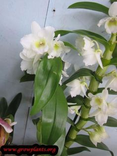 Dendrobium nobile - How to grow & care Dendrobium Nobile, Growing Orchids, Orchid Care, Season Colors, Flowers, Plants, Caring For Orchids, Plant, Royal Icing Flowers