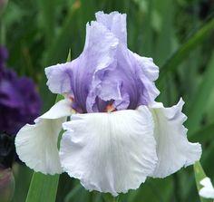 TB Iris germanica 'Sea Splash' (Shoop, 1994)