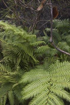 Christella dentata - Binung. Upright arching fronds 50 - 100 cm long.
