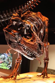 A Gorgosaurus on display. A single tooth believed to come from a Tyrannosaur has been found in Japan. This is the first evidence that Late Cretaceous Tyrannosaurs roamed Japan.