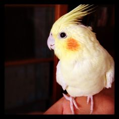 cockatiels are the best pets out! makes me miss my baby :(