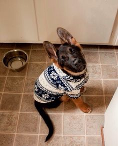 That one time I put my German Shepherd in a sweater...