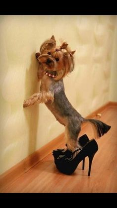 Just like a child, playing in your heels lol! LOVE #yorkshireterrier