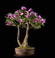 JP: Purple Miniature Hibiscus pictured - https://www.evergreengardenworks.com/rules.htm This article has a very good list of rules for Bonsai work.