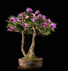 Purple Miniature Hibiscus