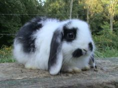 Carla - female lop eared bunny