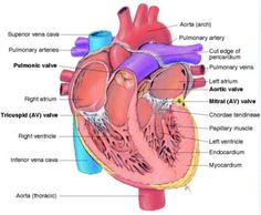 Side diagram of the heart steam diagrammatic illustration anatomy of the heart from my notes ccuart Choice Image