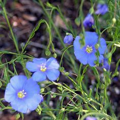 This subspecies, which is more robust than the common European blue flax, is desirable in the perennial border or sunny wild flower garden for its airy texture and sky blue flowers. Description from monticelloshop.org. I searched for this on bing.com/images