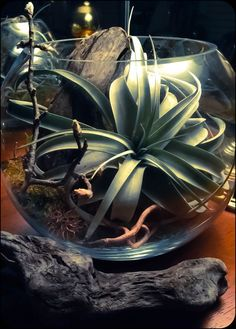 Available for sale at mhttp://www.ebay.com/usr/desi_bloo   | Woodland Kit | Xerographica Air Plant Tillandsia |  #AirPlantTillandsia