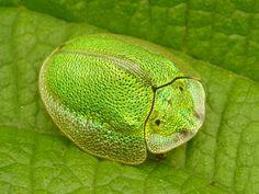 greenreblooming:  Tortoise beetle Cassidinae von Andreas Kay