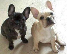 French Bulldogs are so ugly they are cute :) jordynmckenzie
