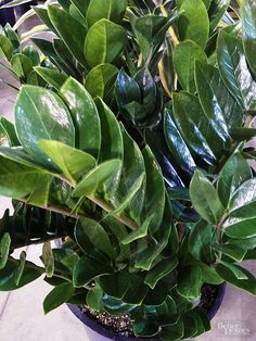 Want an indoor plant, but your room doesn't have a lot of light? Don't worry, there are plenty of plants that grow really well in low-light environments. From parlor palm to Boston fern, our top picks of plants have colorful blooms and bright leaves that are sure to be stunning, even without a lot of light!