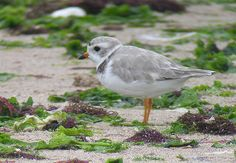 Piping Plovers in Migration: Foraging for Their Lives