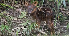 Deer Species, Endangered Species, Small Deer, Interesting News, Predator, Vulnerability, Conservation, Kangaroo, Queens