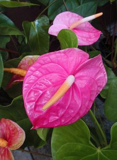 Pink Anthuriums by Hawai'i Naturalist, via Flickr