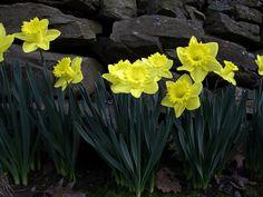 Daffodils By Stone Fence
