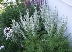 View picture of Salvia Species, White Clary Sage, White Vatican Sage (Salvia sclarea var. turkestanica alba) at Dave's Garden.  All pictures are contributed by our community.