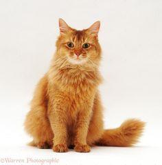 Chocolate Somali cat