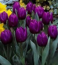 Google Image Result for http://www.theplantexpert.com/springbulbs/Tulip1PurplePrinceSE.jpg