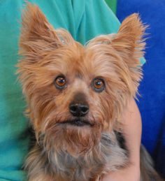 Lincoln is a sweet older boy, a Silky & Yorkshire Terrier mix, debuting for adoption at Nevada SPCA (www.nevadaspca.org).  He is good with other dogs and loves bonding with people.  We don't know how Lincoln became homeless at 10 years of age.  He was at another shelter and needed us for dental care.  (We had to have more than half his teeth extracted -- 27 teeth -- so please be sure his food and treats are soft enough for him to chew and enjoy.)  Please help find Lincoln a stable, forever…