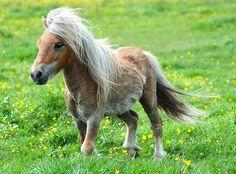 Falabella Pony