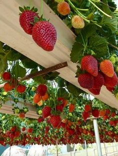 Strawberry Gutter Garden. THIS is brilliant! Plant your strawberries on a hanging trellis to to make picking easy and dirt free!