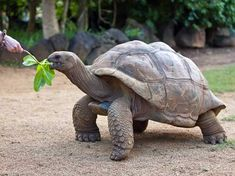 Many people aren't familiar with the differences in tortoises and turtles. We take a close look at them to help you understand finding the right turtle or tortoise for you! Tortoise As Pets, Tortoise Care, Giant Tortoise, Tortoise Turtle, Seychelles, Tortoise Drawing, Animals Beautiful, Cute Animals, Unusual Animals