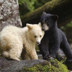 Kermode bear ad black bear cubs