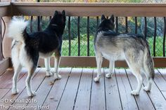 Hu-Dad has all of these silly plans and ideas. #dog #siberianhusky #husky
