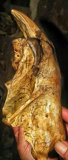 """Jaw of a Marsupial Lion Thylacoleo carnifex (""""pouch lion"""") is an extinct genus of carnivorous marsupials that lived in Australia from the late Pliocene to the late Pleistocene (2 million to 46 thousand years ago). Some of these """"marsupial lions"""" were the largest mammalian predators in Australia of that time, with Thylacoleo carnifexapproaching the weight of a small lion. The estimated average weight for the species ranges from 101 to 130 kg Deep Time, Vertebrates, Australia Living, Prehistory, Extinct, Predator, Ranges, Geology, Mammals"""