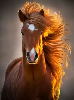 The icelandic horse love these horses! Pretty Horses, Horse Love, Beautiful Horses, Animals Beautiful, Animals And Pets, Cute Animals, Baby Animals, Wild Animals, Smiling Animals