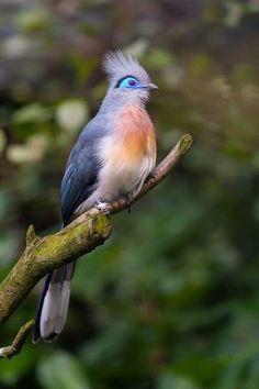 Голубая мадагаскарская кукушка