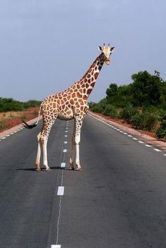 Giraffe: Nigerian giraffe