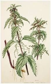 watercolor stinging nettle - Google Search
