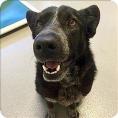 Dallas, TX - Border Collie/Blue Heeler Mix. Meet Presley, a dog for adoption. http://www.adoptapet.com/pet/15017479-dallas-texas-border-collie-mix