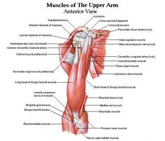 muscles of upper arm posterior view anatomy. Black Bedroom Furniture Sets. Home Design Ideas