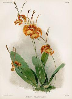 Sander's Reichenbachia Orchid Prints 1888