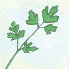 Parsley Giant Of Italy  Good for: Containers  Sun: 4-5 hrs. Can tolerate some shade.