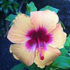 Beautiful hibiscus flower in hawaii