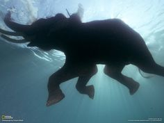 awesome!  I have never seen a elephant in deep water!!!