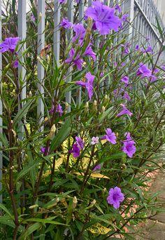 Flores de Asunción-Paraguay