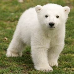 bebê polar