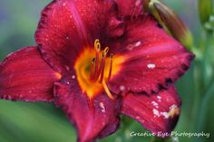 Red lily Red Lily, Fine Art, Plants, Flora, Plant, Visual Arts, Planting